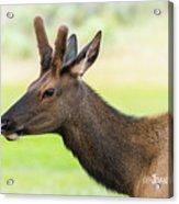 Male Elk Acrylic Print