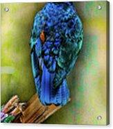 Male Fairy Bluebird Acrylic Print