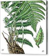 male fern, Dryopteris filix-mas Acrylic Print