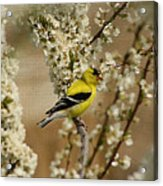 Male Finch In Blossoms Acrylic Print