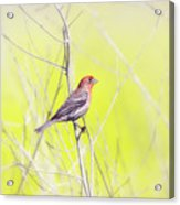 Male Finch On Bare Branch Acrylic Print