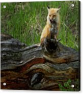 Male Fox-signed   #3569 Acrylic Print