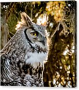 Male Great Horned Owl Portrait Acrylic Print