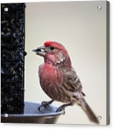 Male House Finch Feeding Acrylic Print
