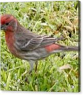 Male House Finch Acrylic Print