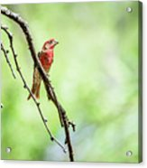 Male House Finch Out On A Limb Acrylic Print