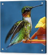 Male Hummingbird Spreading Wings Acrylic Print