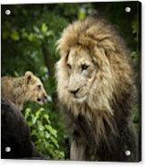 Male Lion And Cub Acrylic Print