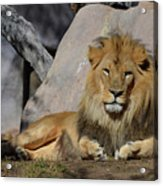 Male Lion Resting In The Warm Sunshine Acrylic Print