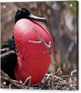 Magnificient Frigatebird  Acrylic Print