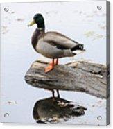 Male Mallard Duck With His Reflection Acrylic Print