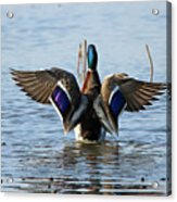 Male Mallard In Glorious Color  7515 Acrylic Print