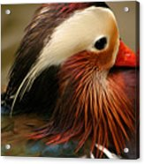 Male Mandarin Duck China Acrylic Print
