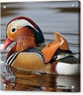 Male Mandarin Duck Acrylic Print