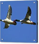 Male Mergansers In Flight Acrylic Print