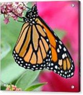 Male Monarch Acrylic Print by Steve Augustin