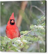 Male Northern Cardinal 2 Acrylic Print
