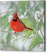 Male Northern Cardinal In Winter Acrylic Print