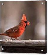 Male Northern Cardinal Winter New Jersey  Acrylic Print