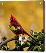 Male Northern Red Cardinal Acrylic Print