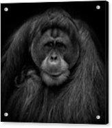 Male Orangutan Black And White Portrait Acrylic Print