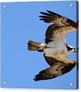 Male Osprey In Flight Acrylic Print