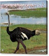 Male Ostrich Acrylic Print
