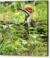 Male Pileated Woodpecker On The Ground No. 2 Acrylic Print