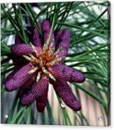 Male Ponderosa Pine Cones Acrylic Print