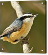 Male Red Breasted Nuthatch 2151 Acrylic Print