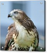 Male Red Tail Acrylic Print