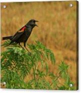 Male Red-winged Blackbird Singing Acrylic Print