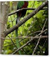 Male Resplendent Quetzal Acrylic Print