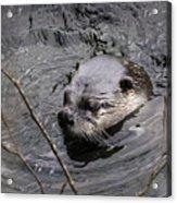 Male River Otter Acrylic Print