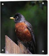 Male Robin Acrylic Print