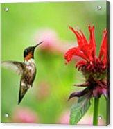 Male Ruby-throated Hummingbird Hovering Near Flowers Acrylic Print