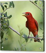 Male Summer Tanager Acrylic Print