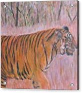 Adult Male Tiger Of India Striding At Sunset  Acrylic Print