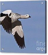 Male Upland Goose Acrylic Print