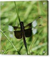 Male Widow Skimmer Dragonfly #4 Acrylic Print