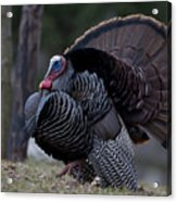 Male Wild Turkey, Meleagris Gallopavo Acrylic Print