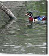 Drake Wood Duck On Pond Acrylic Print
