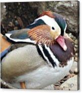 Male Wood-duck Acrylic Print