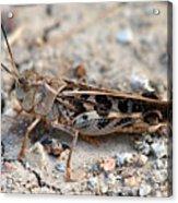 Male Wrinkled Grasshopper Acrylic Print