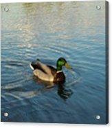 Mallarad Duck 1 Acrylic Print