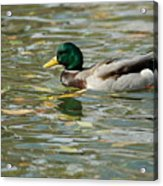 Mallard Among The Fallen Leaves Acrylic Print