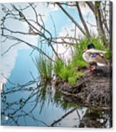 Mallard At Silver Lake Acrylic Print