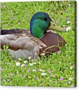 Mallard Drake In The Grass Acrylic Print