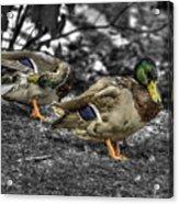 Mallard Duck A4 Acrylic Print