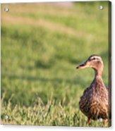 Mallard Duck Anas Platyrhynchos, Female Acrylic Print